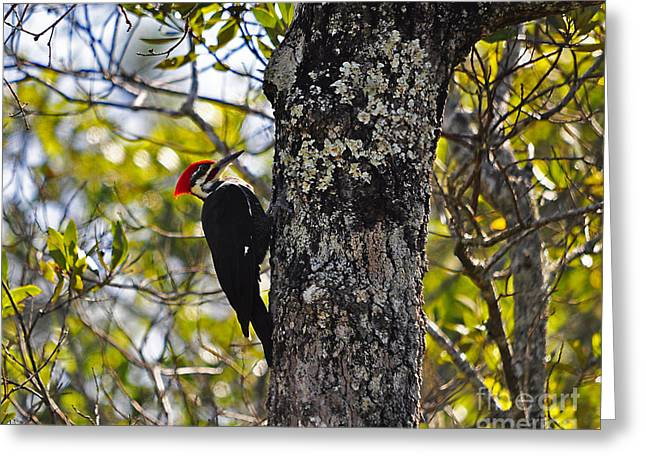 Pileated Woodpecker Greeting Cards - Pileated Woodpecker Greeting Card by Al Powell Photography USA