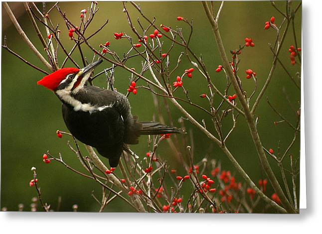 Woodpeckers Greeting Cards - Pileated Woodpecker Greeting Card by Alan Lenk