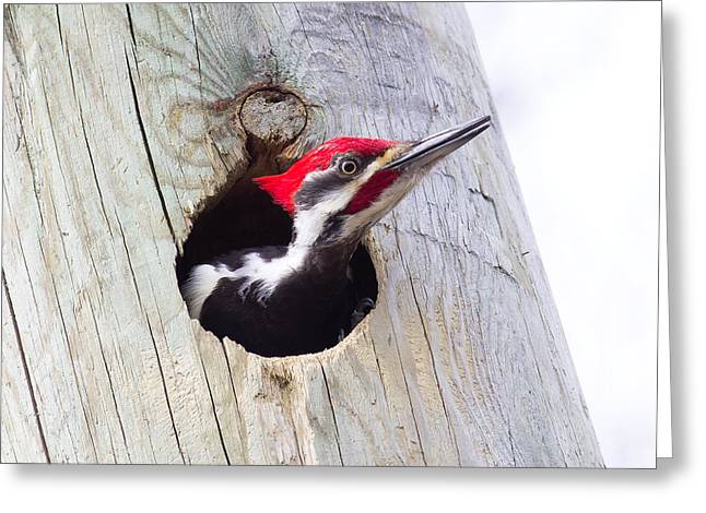 Michel Soucy Greeting Cards - Pileated Woodpecker in a pole Greeting Card by Michel Soucy