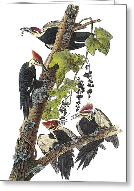 Woodpeckers Greeting Cards - Pileated Woodpecker Greeting Card by John James Audubon