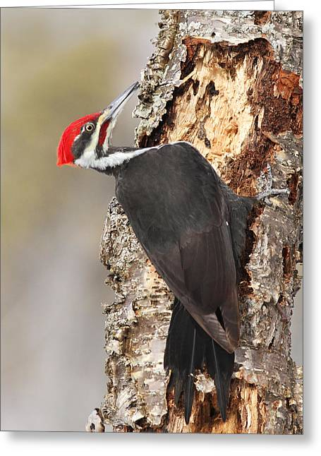 Pileated Woodpecker Greeting Cards - Pileated Woodpecker Greeting Card by Mircea Costina Photography