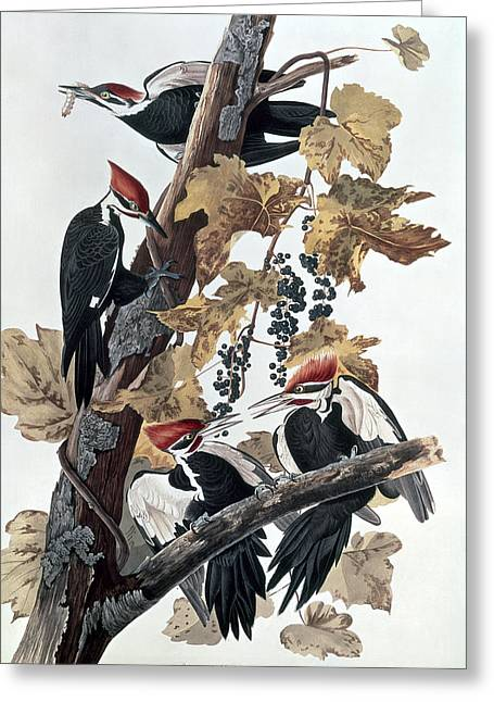 Wild Life Greeting Cards - Pileated Woodpeckers Greeting Card by John James Audubon