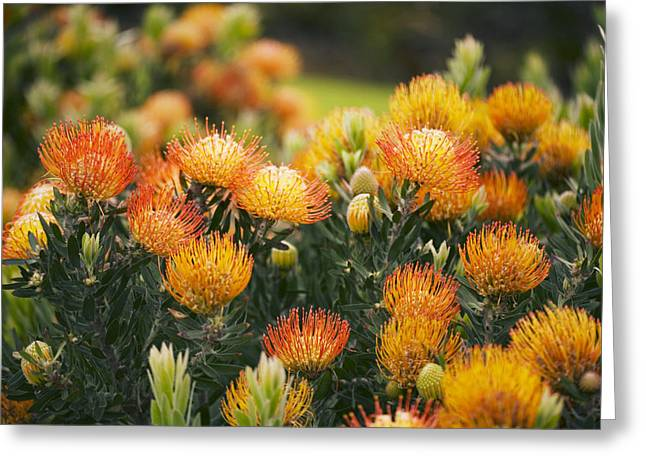 Orange Pin Cushion Greeting Cards - Pin Cushion Protea Bush Greeting Card by Ron Dahlquist - Printscapes