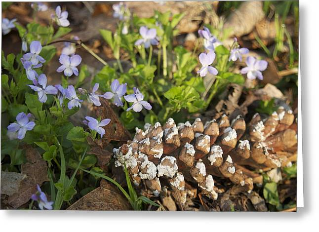 Pine Cones Greeting Cards - Pine cone and Spring Phlox Greeting Card by Michael Peychich