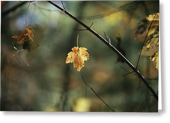 Pine Needles Greeting Cards - Pine Needles Caught On An Greeting Card by Raymond Gehman