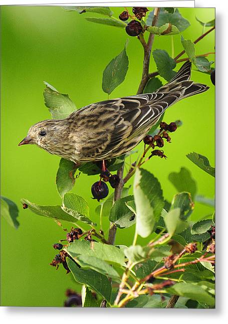 Bokhe Greeting Cards - Pine Siskin on Berries Greeting Card by Donald Kovalsky