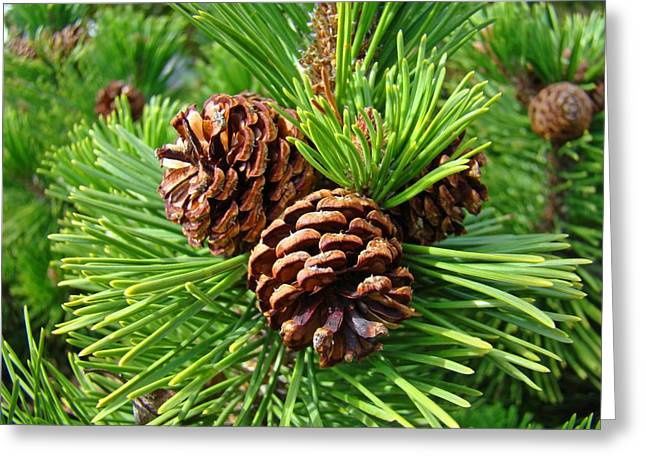 Pine Cones Greeting Cards - Pine Tree art prints Pine Cones Green Forest Baslee Troutman Greeting Card by Baslee Troutman Fine Art Prints Collections