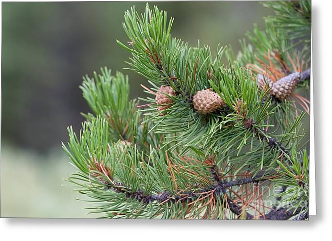 Pine Cones Greeting Cards - Pine Tree Greeting Card by Cindy Singleton
