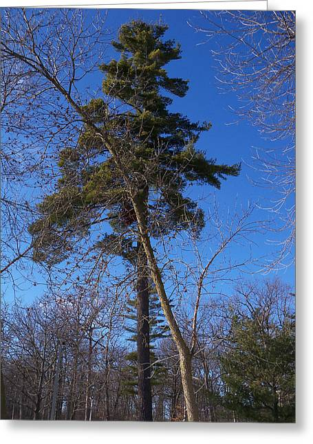 Mohawk Park Greeting Cards - Pine Tree Standing Tall Greeting Card by Corinne Elizabeth Cowherd