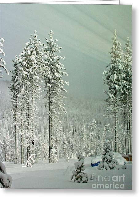 Angora Lakes Greeting Cards - Pine Trees after the Angora Fire Greeting Card by Paula Deutz