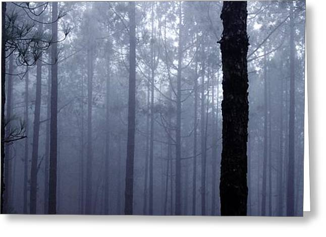 Foggy Day Greeting Cards - Pine Trees In Cloud In The Forest Corona Greeting Card by Axiom Photographic