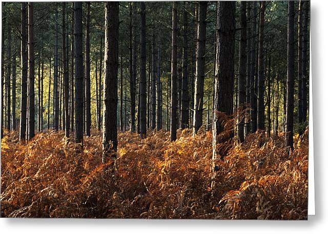 Pinus Greeting Cards - Pine Trees (pinus Sp.) Greeting Card by Adrian Bicker
