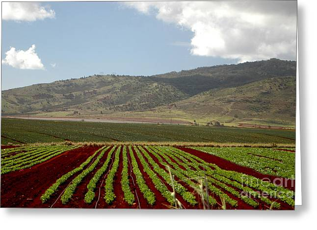 Hawai Greeting Cards - Pineapple Fields Greeting Card by Mark Gilman