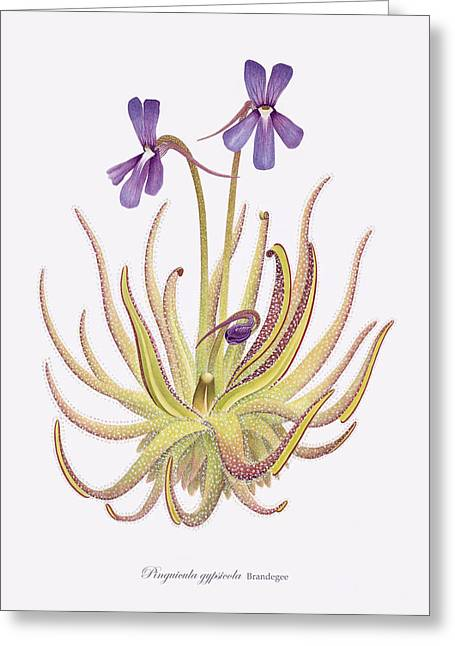 Purple Mountains Drawing Greeting Cards - Pinguicula gypsicola Greeting Card by Scott Bennett