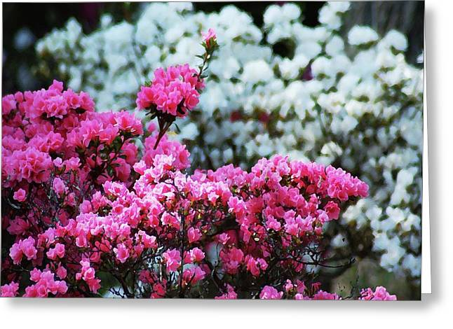 Watermelon Digital Art Greeting Cards - Pink and White Azelas Greeting Card by Michael Thomas