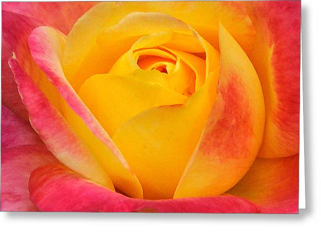 Closup Greeting Cards - Pink and Yellow Rose 8 Greeting Card by Edward Sobuta
