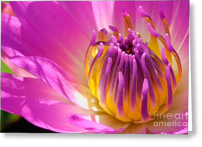 Nenuphar Greeting Cards - Pink and Yellow Water Lily Close Up Greeting Card by Laurent Lucuix