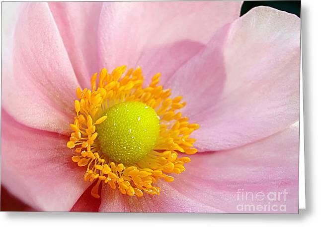 Anemone Coronaria Greeting Cards - Pink Anemone Greeting Card by Kaye Menner
