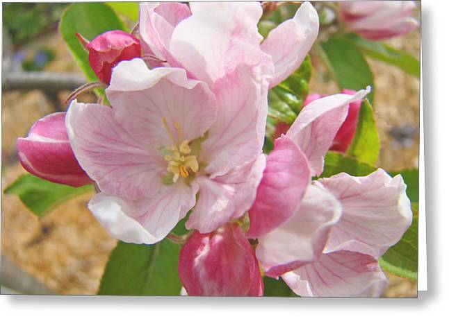 Pink Blossoms Greeting Cards - Pink Apple Blossoms art prints Spring Trees Baslee Troutman Greeting Card by Baslee Troutman Fine Art Photography