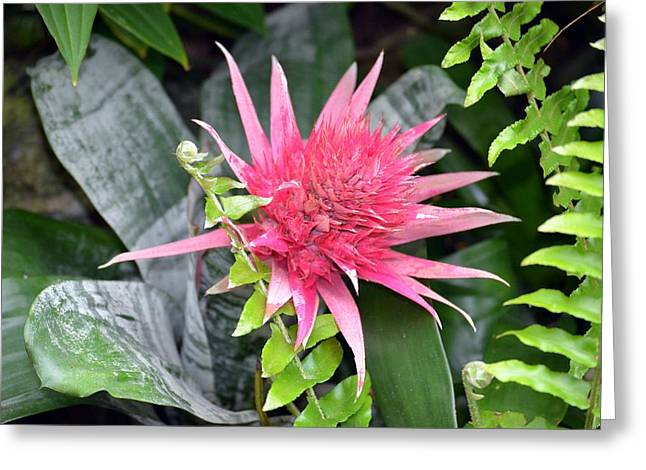 Bromeliad Greeting Cards - Pink Bromeliad Greeting Card by Trina Talmon