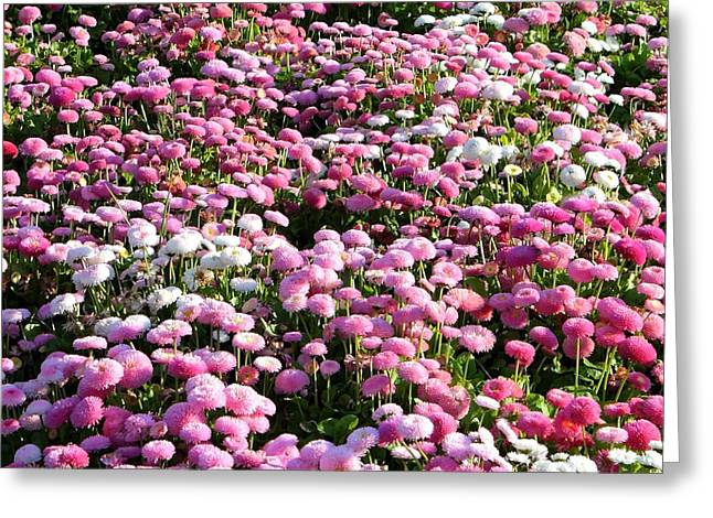 Carol Groenen Greeting Cards - Pink Button Pom Flowers Greeting Card by Carol Groenen