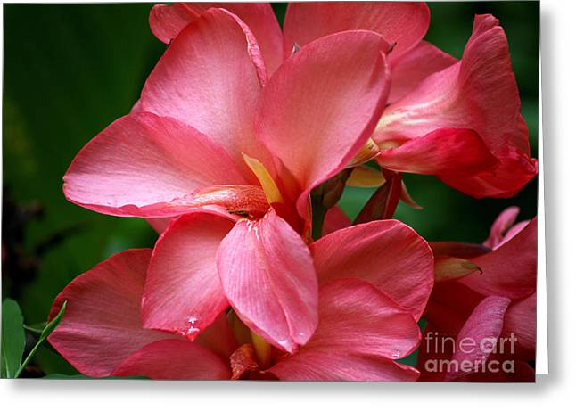 Pink Canna Greeting Card by Patricia Griffin Brett