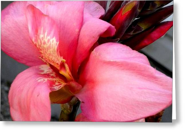 Pink Canna Greeting Card by Renate Nadi Wesley