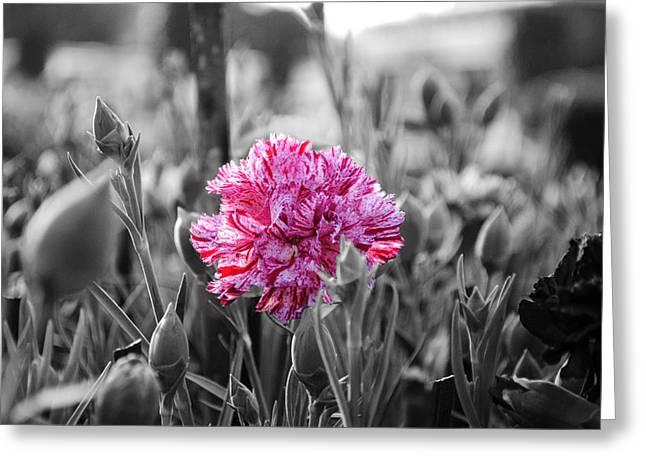 Pink Carnation Greeting Card by Sumit Mehndiratta