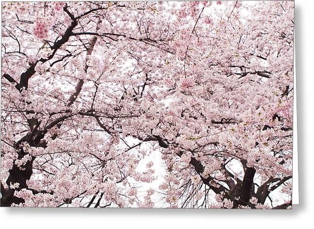 Cherry Blossoms Photographs Greeting Cards - Pink Cherry Blossom Tree Greeting Card by Ariane Moshayedi