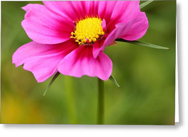Pink Cosmo Greeting Card by Steve Augustin