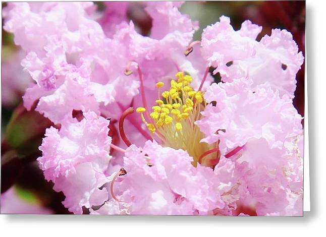 Crape Greeting Cards - Pink Crapemyrtle Greeting Card by Toni Hopper