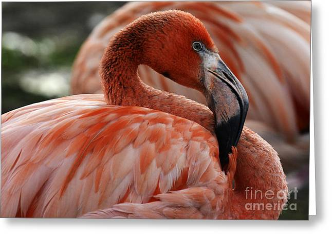 Pink Flamingo Nature Photo Greeting Cards - Pink Flamingo 1 Greeting Card by Bob Christopher