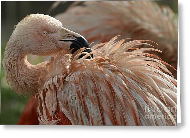 Pink Flamingo Nature Photo Greeting Cards - Pink Flamingo 4 Greeting Card by Bob Christopher