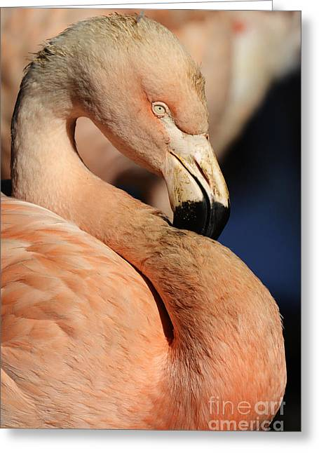 Pink Flamingo Nature Photo Greeting Cards - Pink Flamingo 8 Greeting Card by Bob Christopher