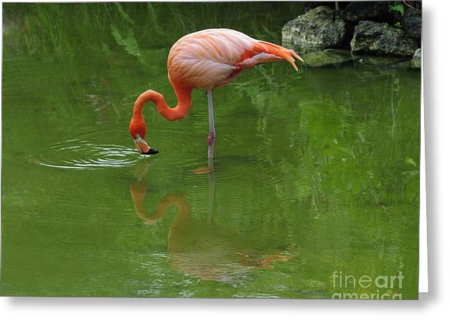 Pink Flamingo Feeding In Pond With Reflection And Ripples In Water Greeting Cards - Pink Flamingo Greeting Card by Cindy Lee Longhini