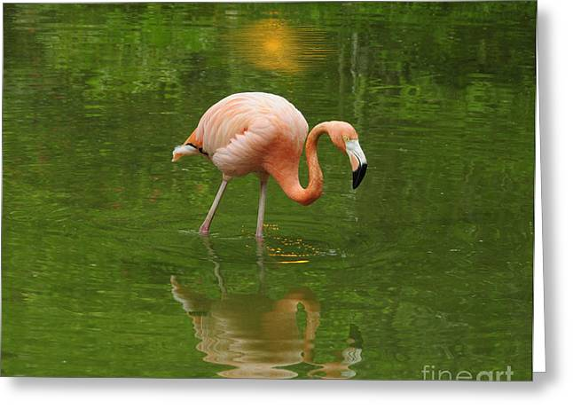 Pink Flamingo With Evening Lights Greeting Card by Cindy Lee Longhini