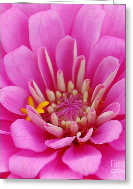 Zinna Greeting Cards - Pink Flower Center Greeting Card by Patty Vicknair
