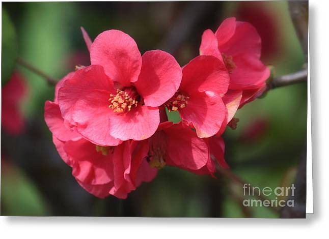 Quince Greeting Cards - Pink Flowering Quince Greeting Card by Carol Groenen