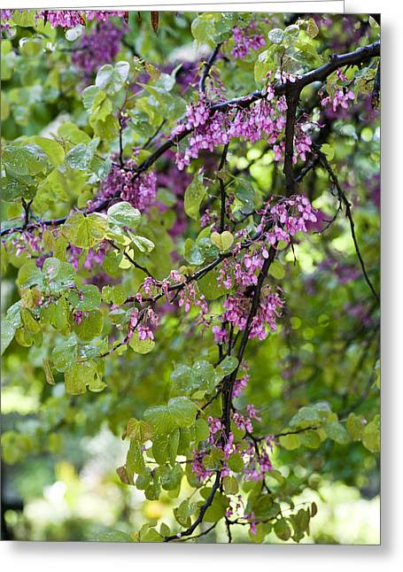 Pink Blossoms Greeting Cards - Pink flowers of the Love Tree Greeting Card by Frank Tschakert