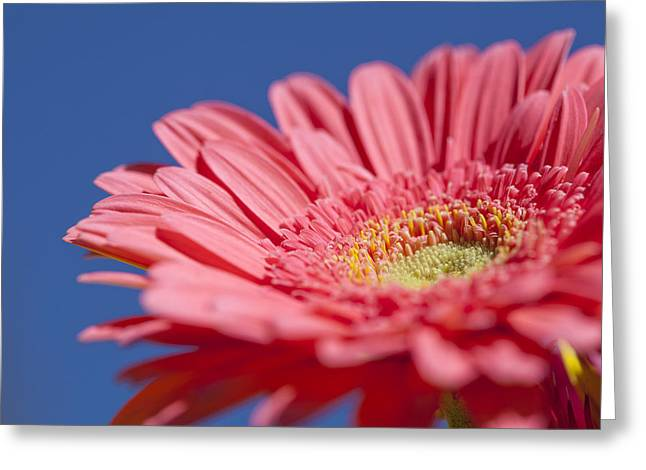 Pink Gerber 2 Greeting Card by Al Hurley