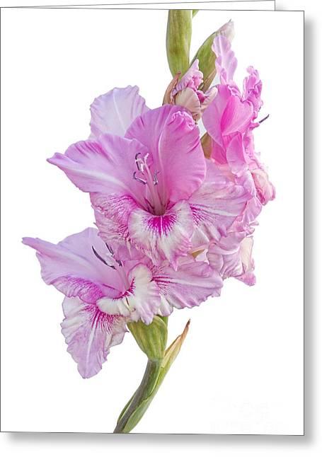 Gladiolas Greeting Cards - Pink Gladiolus Greeting Card by Ann Garrett