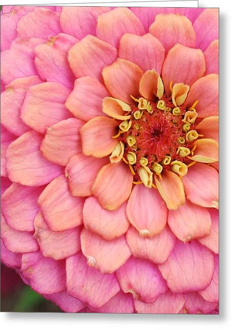 Zinna Greeting Cards - Pink Happening Greeting Card by Bruce Bley