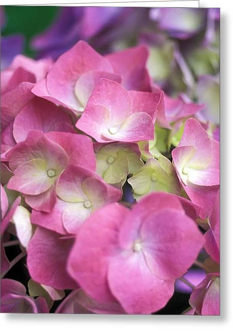 Pink Flower Prints Greeting Cards - Pink Hydrangeas Greeting Card by Kathy Yates