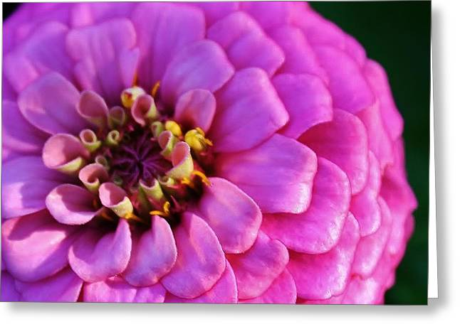 Zinna Greeting Cards - Pink Infusion Greeting Card by Bruce Bley