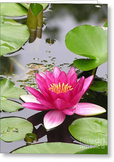 Lily Greeting Cards - Pink Lily Flower  Greeting Card by Diane  Greco-Lesser