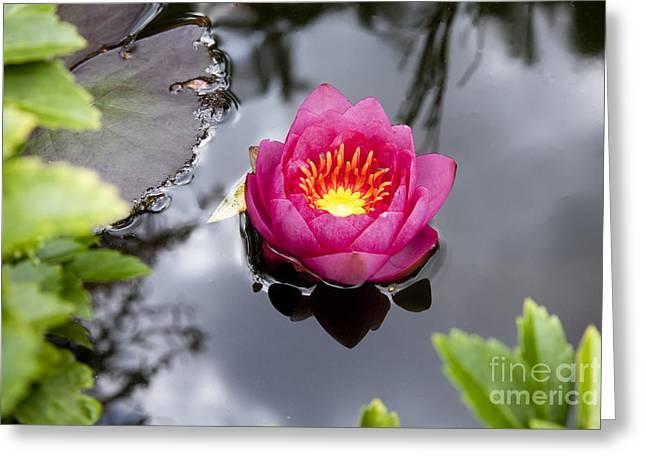 Aquatic Greeting Cards - Pink Lily Pad Greeting Card by Charlotte Lake