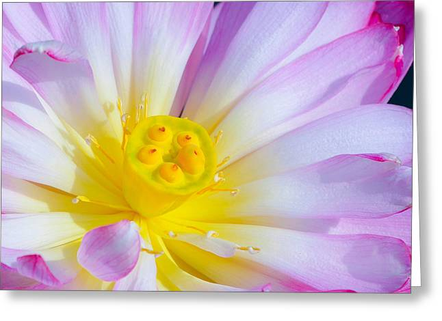 Nature Center Pond Greeting Cards - Pink Lotus 4 Greeting Card by Julie Palencia