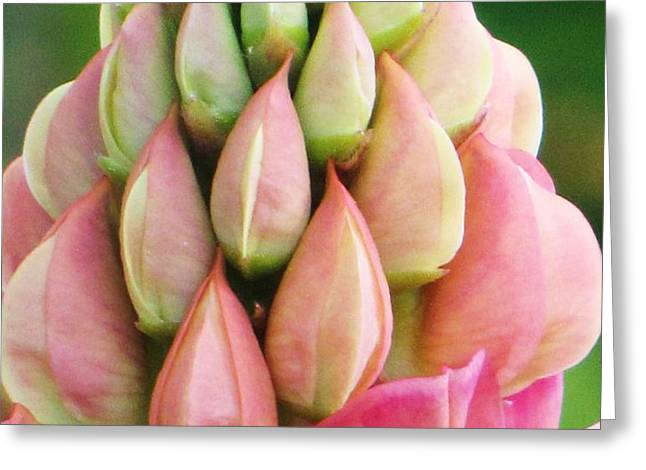 Pink Lupine Buds Greeting Card by Michele Penner