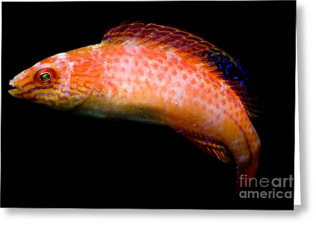 Reef Fish Greeting Cards - Pink-margin Wrasse Greeting Card by Danté Fenolio