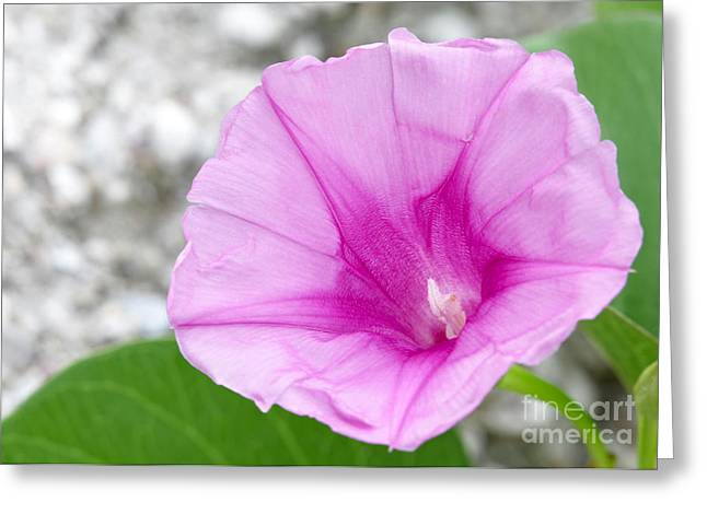 Florida Flowers Greeting Cards - Pink Morning Glory Flower Greeting Card by Sabrina L Ryan
